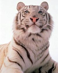 Жениться в год тигра